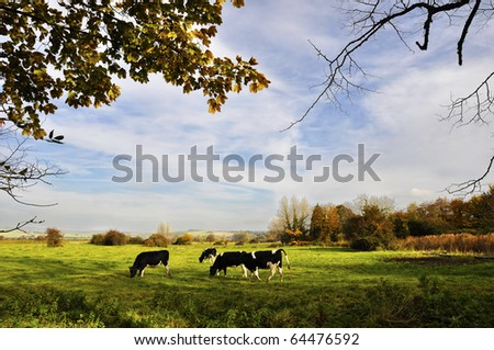 Cows in a meadow, english countryside landscape - stock photo