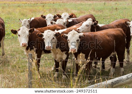 Cows in a Paddock - stock photo