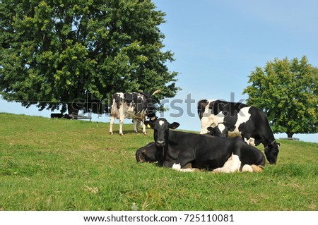 Cows in a pasture in Lancaster County, PA on a summer day