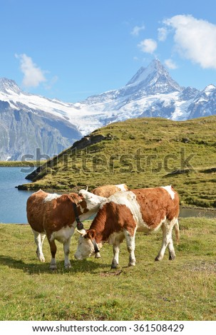 Cows in an Alpine meadow. Jungfrau region, Switzerland - stock photo