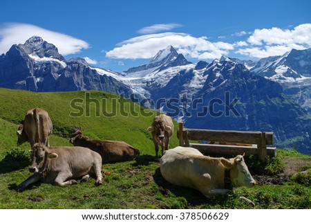 Cows in an Alpine meadow with mountains in snow in background. Jungfrau region, Switzerland - stock photo