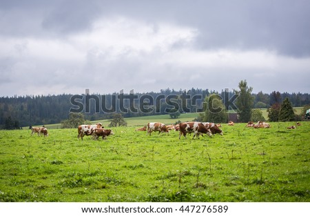 Cows in Bavaria
