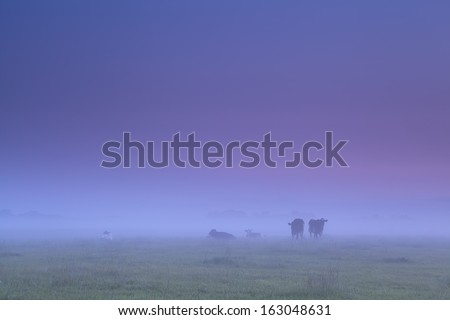 cows in dense fog on morning pasture during sunrise - stock photo