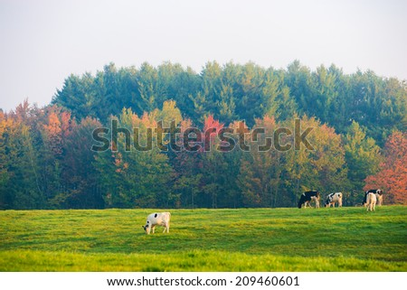 Cows in early morning fog, Stowe, Vermont, USA - stock photo