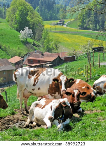 Cows in Emmental region, Switzerland