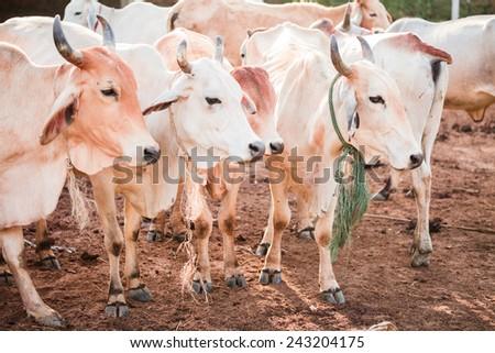 Cows in farm - stock photo