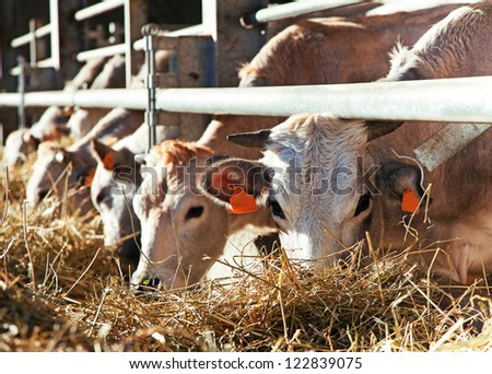 Cows in farm (Italy) - stock photo