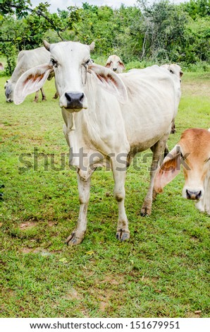 Cows in field, Thailand.