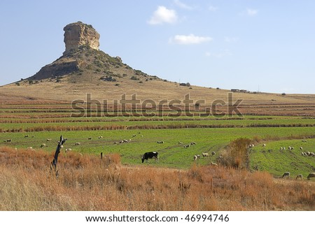 Cows in front of a mountain, Clarens, Free state, South Africa - stock photo