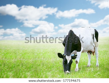 Cows in green field under blue sky - stock photo