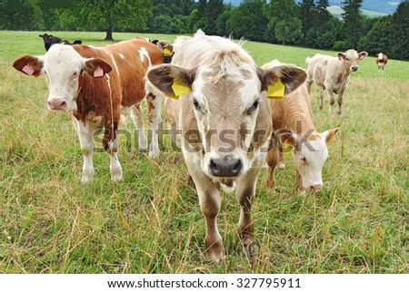 Cows in herd on meadow.  - stock photo