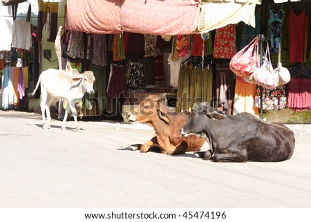Cows in India - stock photo
