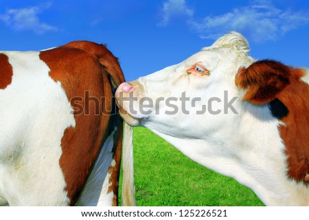 Cows in series - stock photo
