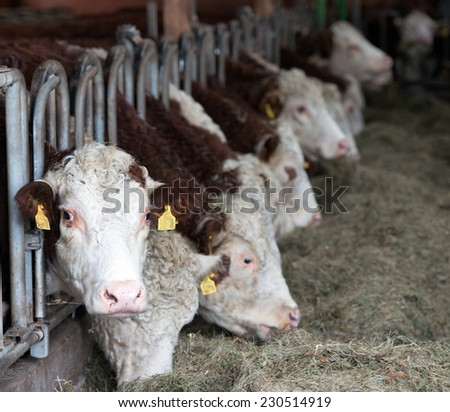 Cows in Stable - stock photo
