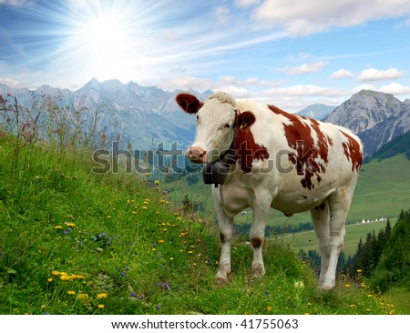 cows in Swiss alps - stock photo