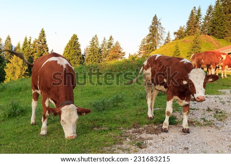Cows in the alps at morning near a footpath - stock photo