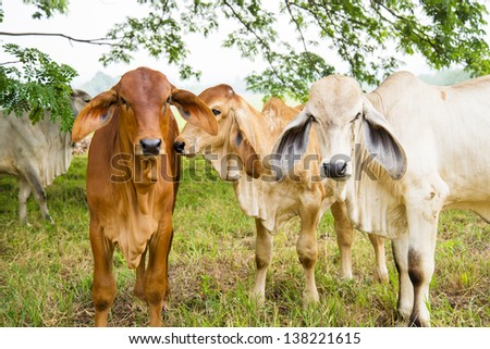 cows in the field - stock photo