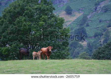 Cows in the hills - stock photo