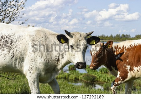 Cows in the meadow by the lake