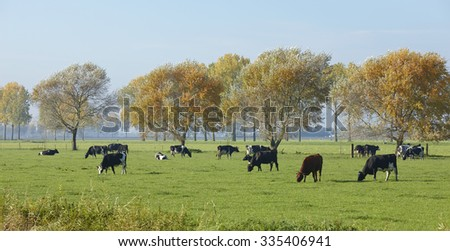 Cows in the meadow in autumn, the Netherlands - stock photo
