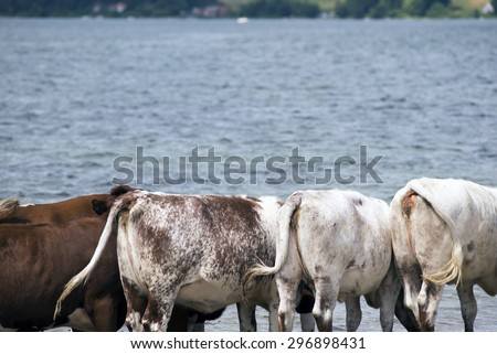 Cows in the sea and on the beach in Denmark a summer day. - stock photo