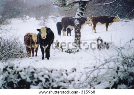 Cows in the Snow - stock photo