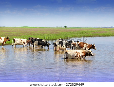 cows in the water - stock photo