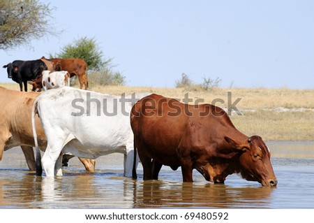 cows in water - stock photo