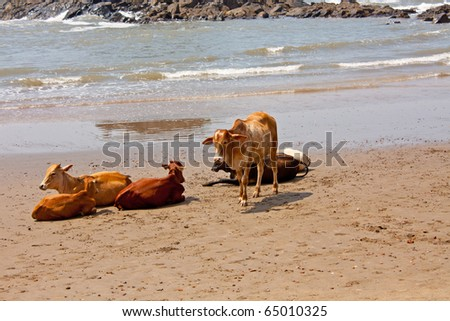 cows lying at the beach in India - stock photo