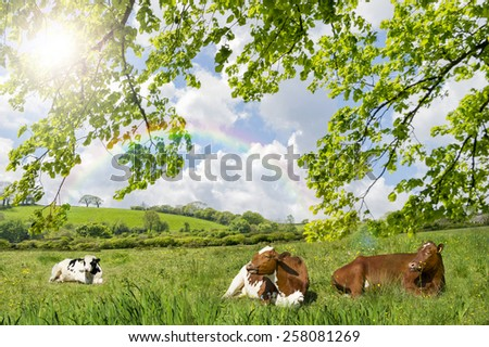 Cows lying in a meadow - stock photo