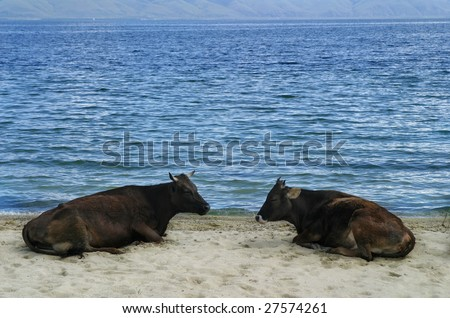 cows lying on shore sand with lake behind - stock photo