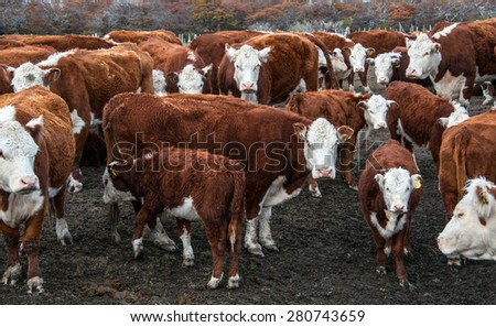 Cows of Hereford Cattle grazing in a pasture in Patagonia - stock photo