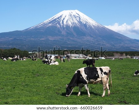 Cows of the ranch of Asagiri Kogen opening in the foot of Mount Fuji
