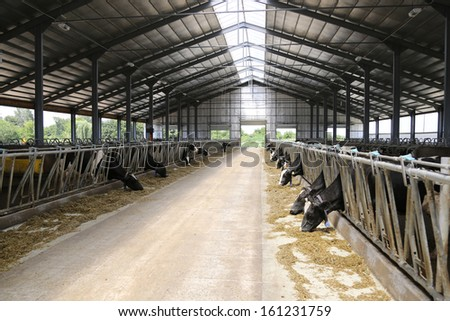 Cows on a dairy farm - stock photo