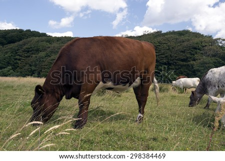 Cows on a Danish meadow eating grass - stock photo