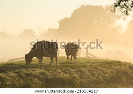 Cows on a dike of a small river in Holland during a foggy sunrise.
