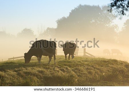Cows on a dike of a small river in Holland during a foggy sunrise. - stock photo