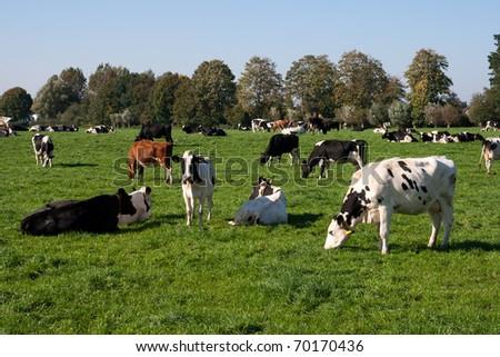 Cows on a farmland - stock photo