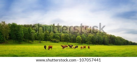 Cows on a field - stock photo