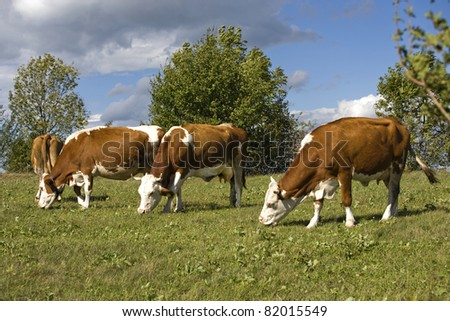 Cows on a meadow - stock photo