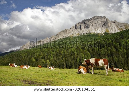 Cows on a meadow in the Dolomites, Italy, Europe - stock photo