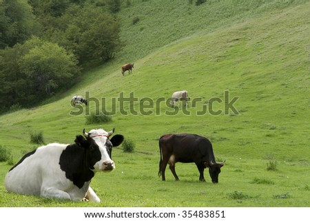 Cows on a pasture - stock photo
