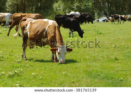 Cows on a pasture. Herd of cows grazing at summer green field - stock photo