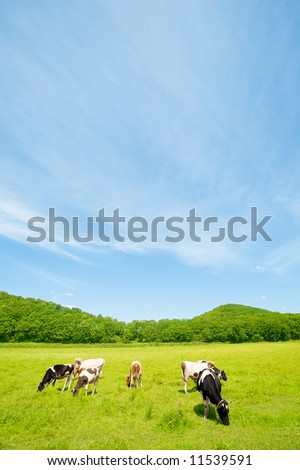 Cows on a pasture.Summer. - stock photo