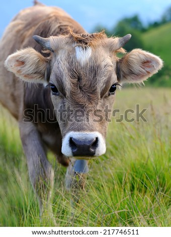 Cows on a summer meadow in mountains - stock photo