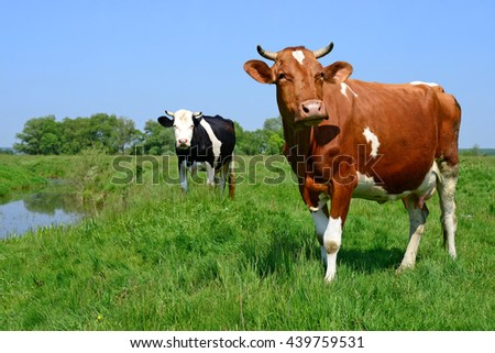 Cows on a summer pasture - stock photo