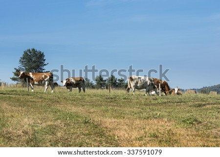 Cows on a summer pasture in Sudety mountains, Nowica, Poland