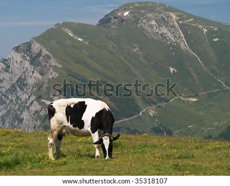 Cows on alp - stock photo