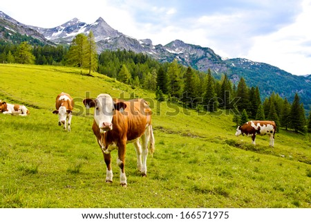 cows on an alpine meadow in Austria - stock photo