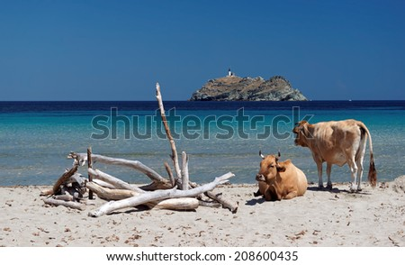 cows on corsica beach  - stock photo